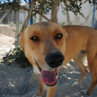 Charlie: For adoption, Dog - Mezcla de Pastor, Female