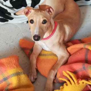 Barbi: Adopted, Dog - Galgo Español, Female