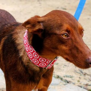 Brownie: Adopted, Dog - Podenco, Male