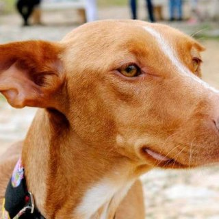 Cereza: Adopted, Dog - Podenco, Female