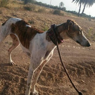 Cleo (MEGAN): Adopted, Dog - Galgo Español, Female