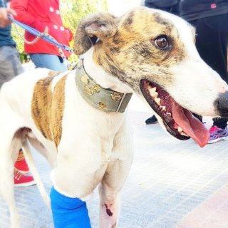 Fénix: Adopted, Dog - Galgo Español, Male