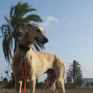 Horus: Adopted, Dog - Galgo, Male
