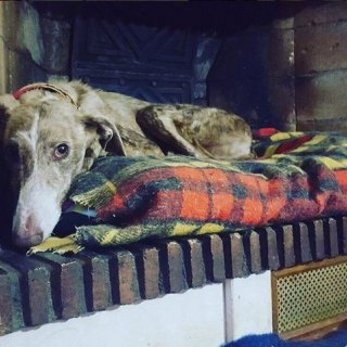 Sandy: Adopted, Dog - Galgo, Female