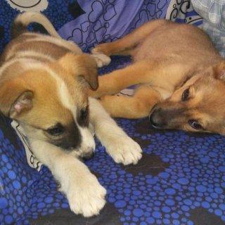 NATA, SUGUS, SCHWEPS: For adoption, Dog - Podenco, Male
