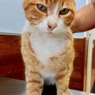 Tigre: For adoption, Cat - ., Male