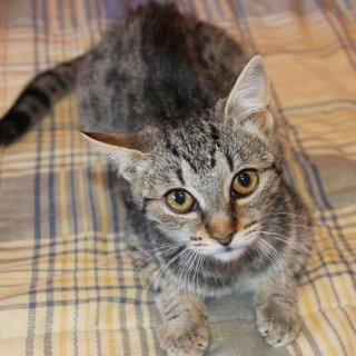 Pipa: For adoption, Cat - ., Female