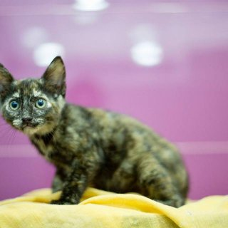 Dedal: For adoption, Cat - ., Female