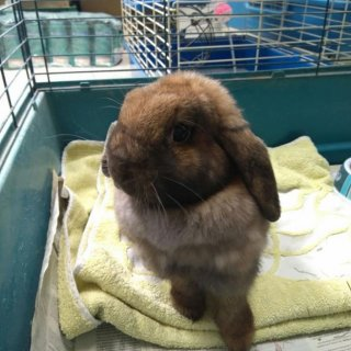 Rabbit: For adoption, Rabbit - Belier, Male