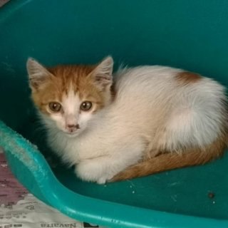Alani: For adoption, Cat - Común Europeo, Male