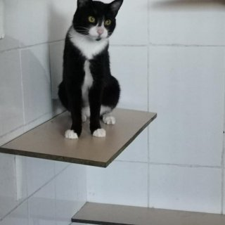 Manchitas: For adoption, Cat - Común Europeo, Male