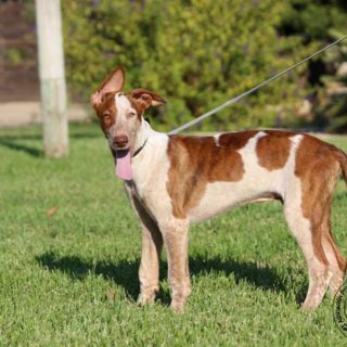Feliz: For adoption, Dog - Podenco Mix, Male