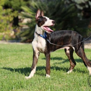 Suerte: For adoption, Dog - Podenco Mix, Male