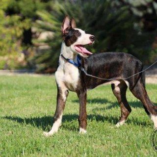Suerte: For adoption, Dog - Podenco Mix, Male