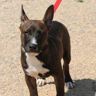 Mitch: For adoption, Dog - Mestizo Stanfford, Male