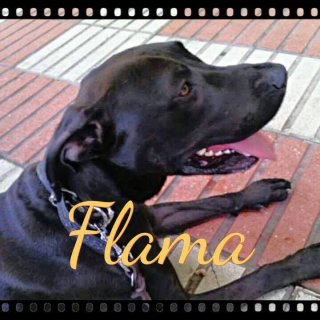 Flama: For adoption, Dog - Mix de labrador, Female