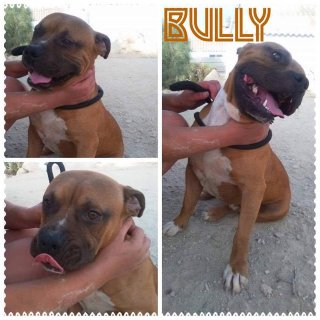 Bully: For adoption, Dog - American Staffordshire, Male
