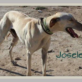 Josele: Adopted, Dog - Galgo, Male