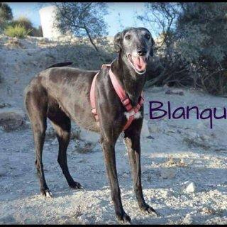 Blanquita: Adopted, Dog - Galgo, Female