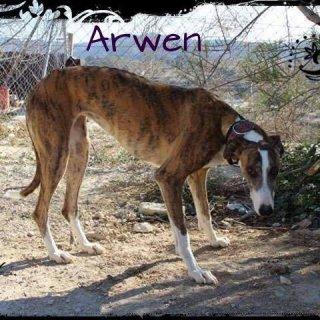 Arwen: Adopted, Dog - Galgo, Female