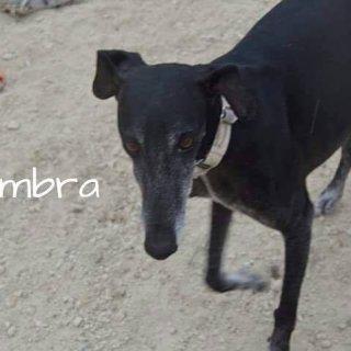 Sombra: Adopted, Dog - Mestiza con galgo, Female