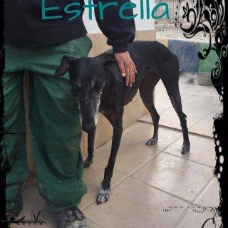 Estrella: Adopted, Dog - Galga, Female