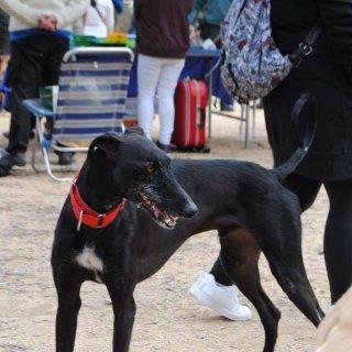 Jorge: Adopted, Dog - Galgo, Male