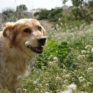 Shakira: For adoption, Dog - Mestiza mediana, Female