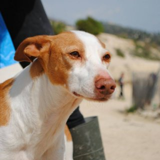 Smile: Reserved, Dog - Podenco, Male
