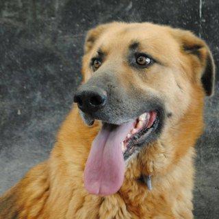 Thor: For adoption, Dog - Mestizo de pastor alemán, Male