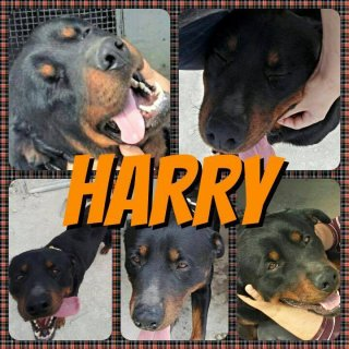 Harry: For adoption, Dog - Rottweiler, Male