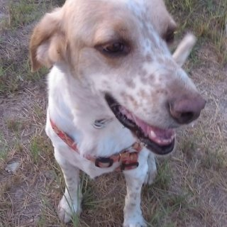 Dino: Adopted, Dog - Cruce de pointer, Male