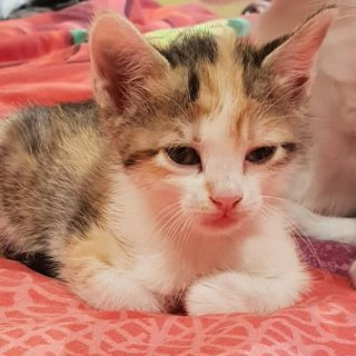 Colorful: For adoption, Cat - Común europeo, Female