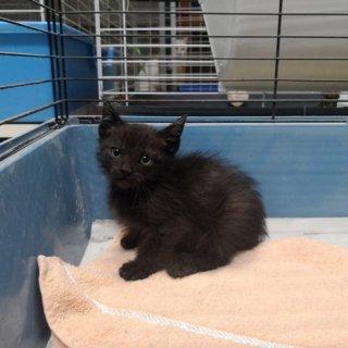 Qara: For adoption, Cat - Común europeo, Male
