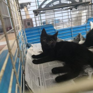 Noir: For adoption, Cat - Común europeo, Male