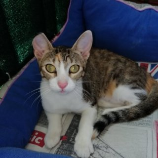 Arga: For adoption, Cat - Común europeo, Female