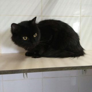 Anuk: For adoption, Cat - Común europeo, Female
