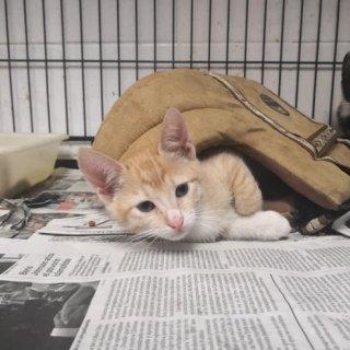 Zizu: For adoption, Cat - Común europeo, Male