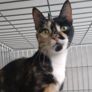 Arry: For adoption, Cat - Común europeo, Female