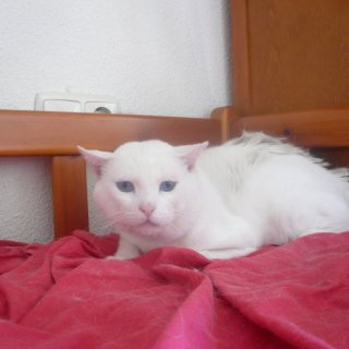 Aram: For adoption, Cat - Común europeo, Male