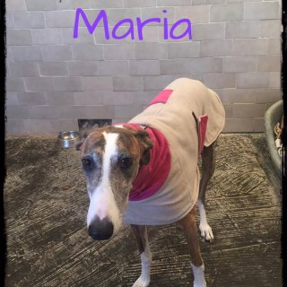 María: For adoption, Dog - Galgo, Male