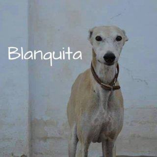 Blanquita: Adopted, Dog - Galgo, Male