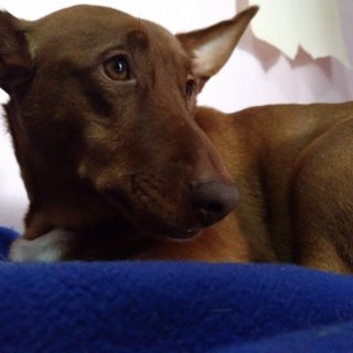 Dobby: Adopted, Dog - Podenco maneto, Male