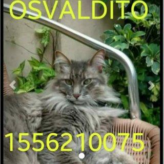 Seguimos buscando a Osvaldito: Lost, Cat - Gato del Bosque, Male
