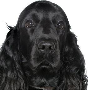 Rey: external-case, dog - Cocker Inglés, Male