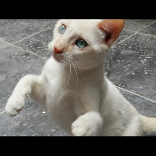 Rigodon: For adoption, Cat - Europeo, Male