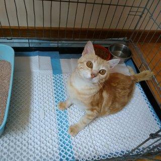 Skye: For adoption, Cat - Europeo, Female