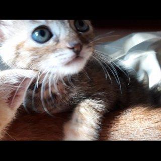 Ula: For adoption, Cat - Europeo, Female