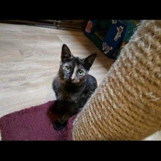 Mulan: For adoption, Cat - Europea, Female
