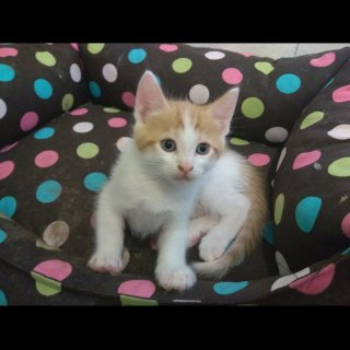 Atila: For adoption, Cat - Europea, Male